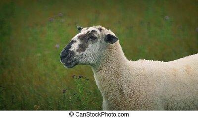 Sheep Chewing Grass Looks At Camera - Sheep eating grass...