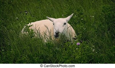 Sheep Grazing In Wild Field - Sheep in wild field with long...