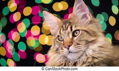 Cat with Christmas garland - Portrait of black tabby Maine...