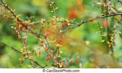 Barberry red berries on a green background sliding focus -...