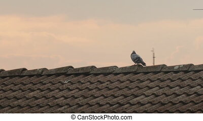pigeon on roof top at sunrise - pigeon silhouette on roof...