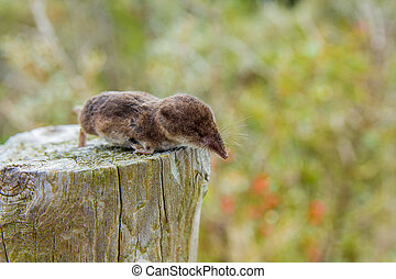 shrew in the dunes near The Hague, - dead shrew on a post in...