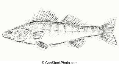 lucioperca - hand painted illustration of a  pikeperch