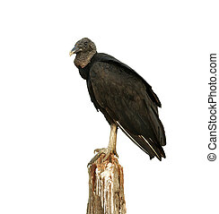 Black vulture, Coragyps atratus, single bird on post, Brazil