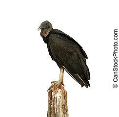 Black vulture, Coragyps atratus, single bird on post, Brazil