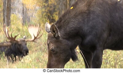 Cow and Bull Moose - a cow moose grazing in front of a...