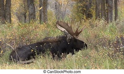 Bull Moose bedded - a bedded bull moose during the fall rut