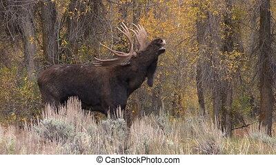 Bull Moose in Rut - a bull moose in the fall rut