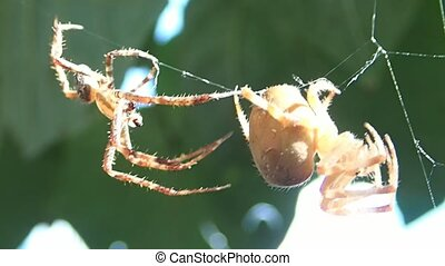 Spider trying to mate - A spider trying to mate with a...