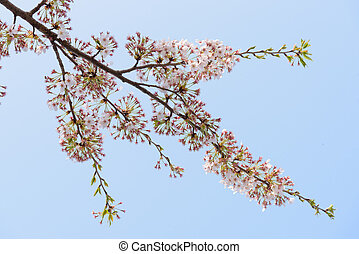 Spring Cherry blossoms background