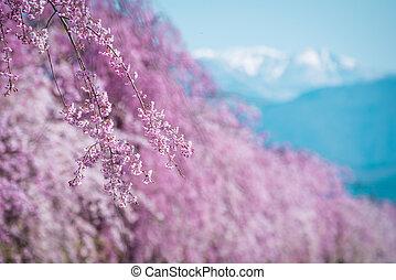 Spring cherry blossom,Japan