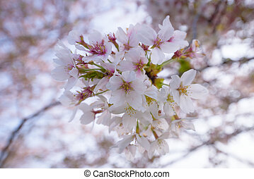 Cherry blossoms  flower