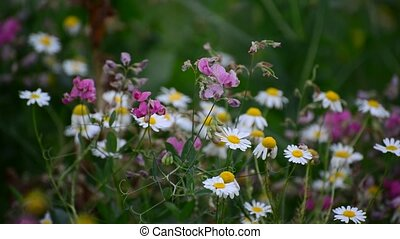 Withered flowers in meadow in late summer, Russia - Withered...