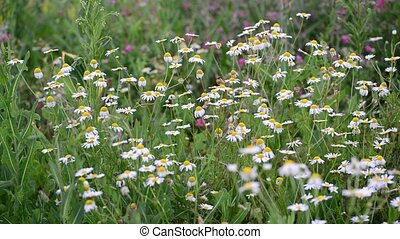 Withered daisies in meadow in late summer, Russia - Withered...
