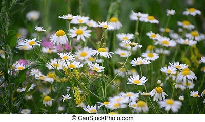 Many daisies on meadow, Russia - Many daisies growing in the...