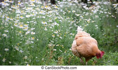 Red Hen eating grass in nature - A Hen eating grass in...