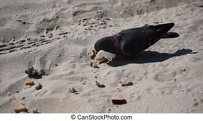 Pigeons peck bread on the beach