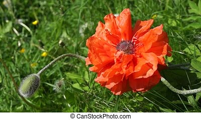 Blooming poppy flower in the garden