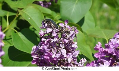 Beetle crawling on the flowers of lilac