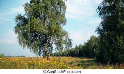 Summer rural landscape with birch on the meadow