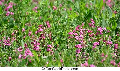 Fragment of beautiful meadow with pink flowers, Russia -...