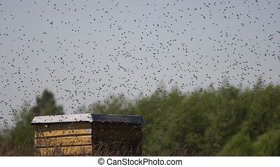 A swarm of bees swarming around a hive