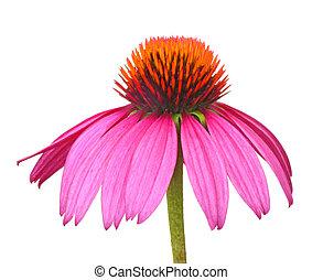 Purple Coneflower, Echinacea - Purple coneflower, Echinacea,...