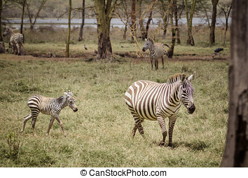 mother and baby zebra - A mother and baby zebra on the...