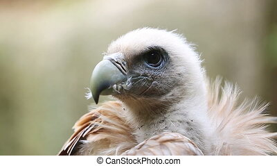 Portrait Of A Griffon Vulture