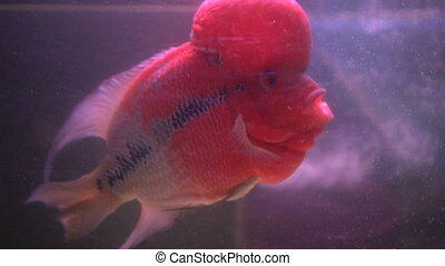 Flower Horn Cliched fish in the aquarium. Cichlid red head -...