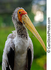 close-up of white stork, ciconia, at rainy day.