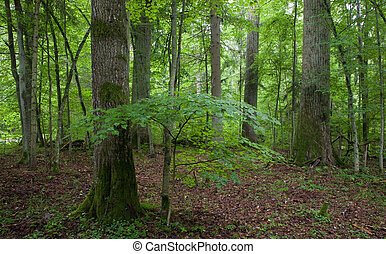 Natural stand of Landscape Reserve with oak tree moss...