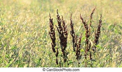 Rumex confertus in the autumn field - A Rumex confertus in...