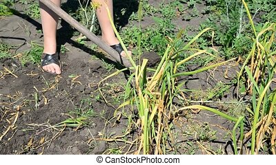gardener digs with a shovel garlic from ground