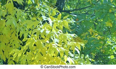 Yellow maple leaves sliding focus Close up of beautiful...