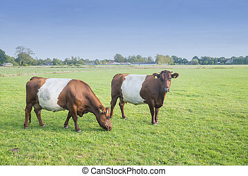 Lakenvelder brown belted cows in Dutch meadow