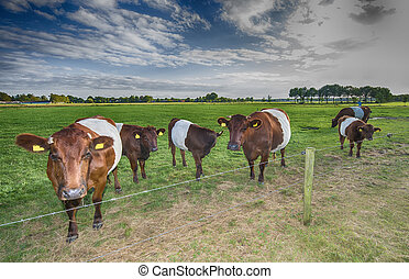 Lakenvelder belted cows and calfs - Lakenvelder belted cows...