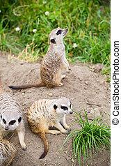 野生生物,  Suricata,  suricatta,  Meerkat, また,  suricate, 知られている, 動物