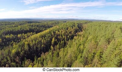 Camera flying above large spruce tree forest - Camera flying...