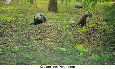 Peacock walks in the park. exotic bird in the forest. animal...