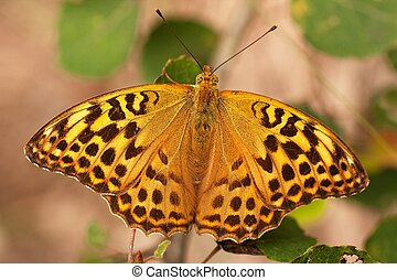 Butterfly Argynnis adippe - butterfly Argynnis adippe in all...