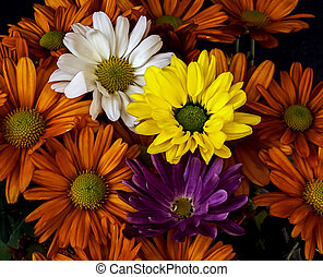 Chrysanthemum, white, Orange,