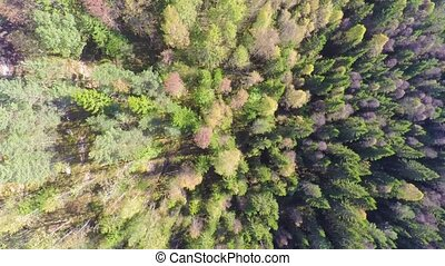 Flying high above large spruce tree forest with camera...