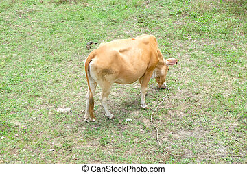 little cow standing alone in green pasture