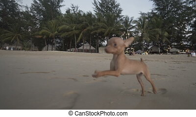 Cute miniature pinscher puppy on the beach