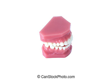 Model of teeth denture isolated on white background with clipping path
