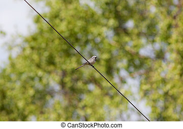Wagtail on a wire against green spring foliage