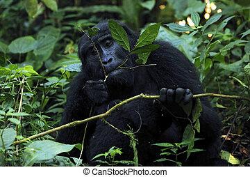 Gorilla Feeding - Mountain Gorilla (Gorilla beringei...