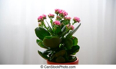 Woman sprays pink Kalanchoe - Woman sprays a pink Kalanchoe...