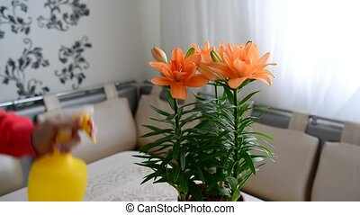 Woman sprays potted orange lily - Woman sprays potted an...